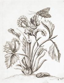 Maria Sibylla Merian, kuparikaiverrus 1600-luvun lopulta.